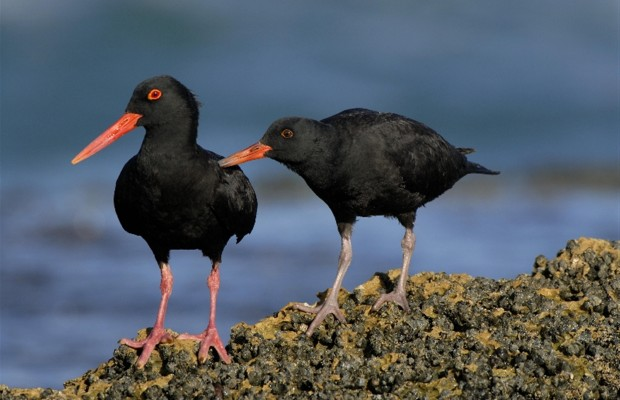 De-Hoop-birds-black-oystercatcher-adult-and-large-chick-soliciting-Custom-620x400