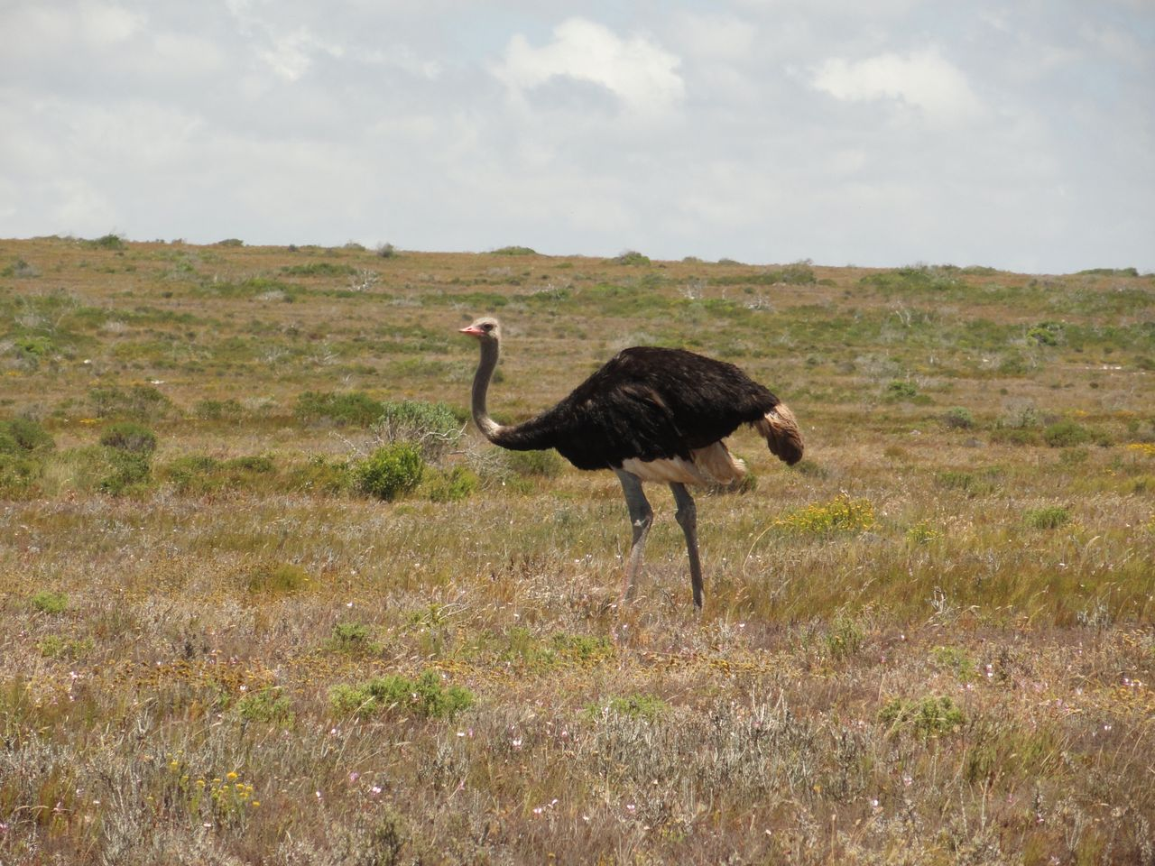 The Gracefully Awkward Ostrich