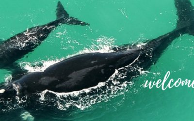 Yay! They're Back. The Southern Right Whales in South Africa