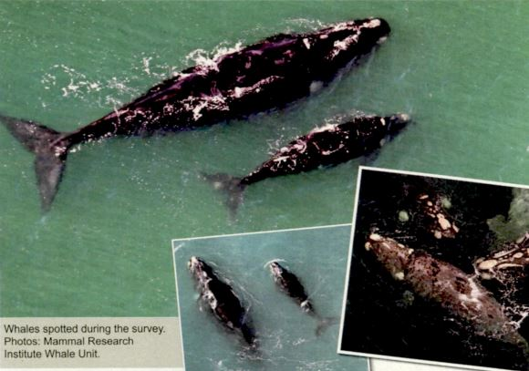 High whale numbers recorded in Agulhas