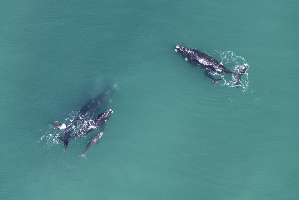 Tight group of mother & calf pairs of southern right whales. ( Image by Jean Tresfon)