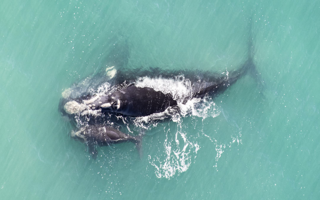 1,347 Southern Right Whales sighted