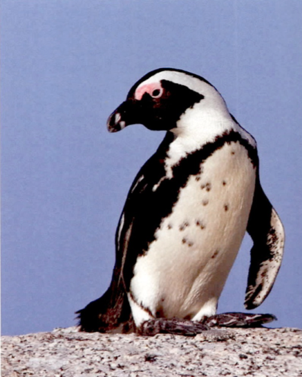 DECOY PLAN HATCHED FOR PENGUIN NESTING SITE