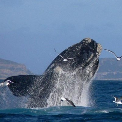 WHAT'S WRONG WITH OUR RIGHT WHALES?